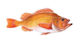 Golden redfish (Gullkarfi) illustration